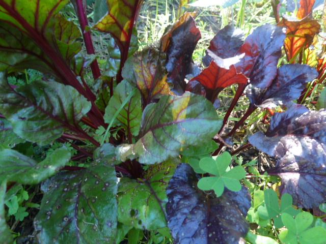 hojas de betarragas, son ricas!