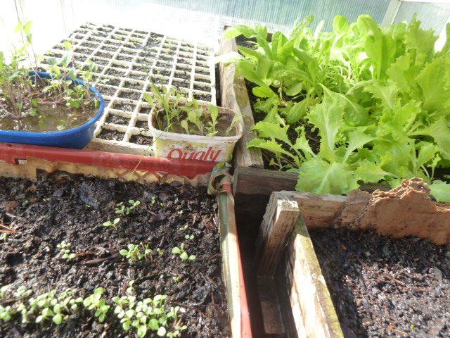 Alm cigos plantines huerta org nica el huerto org nico for Plantas para huerta organica
